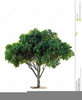 Clipart Of Fig Tree Image
