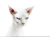 White Sphynx Cat Image