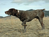 Clipart Of Pointer Hunting Dogs Image