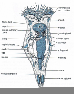 Rotifer Diagram Trunk Image
