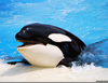 Cute Orca Whales Image