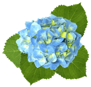 blue hydrangea free images at clker com vector clip art online rh clker com hydrangea clipart png hydrangea clipart black and white