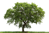 Loan Oak Tree Image