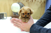 Teacup Poodle Puppies Image