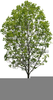 Willow Tree Clipart Image