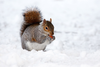 Squirrel In Winter Jab Image