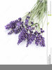 Lavender Clipart Free Image