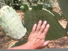Spineless Hedgehog Cactus Image
