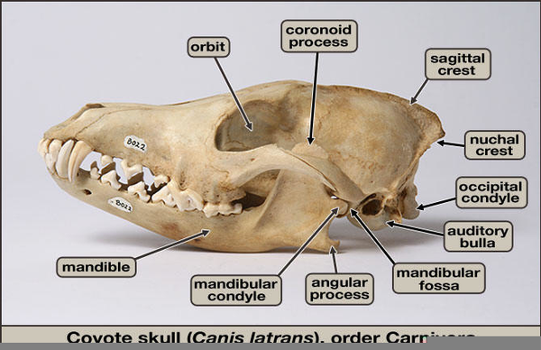 Coyote Skull Anatomy   Free Images at Clker.com - vector clip art ...