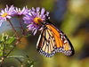 Monarch Butterfly U V Image