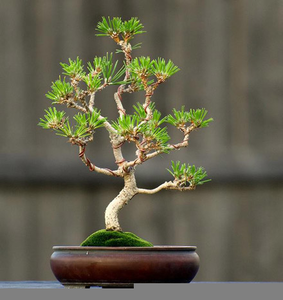 Miraculous Wiring Pine Bonsai Free Images At Clker Com Vector Clip Art Wiring 101 Capemaxxcnl