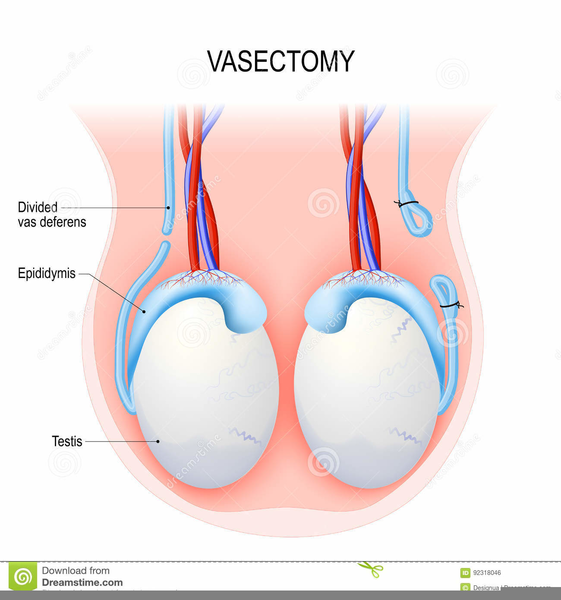 Testicular Anatomy Free Images At Clker Vector Clip Art
