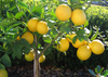 Lemon Tree Images Image