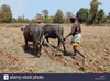 Farmer Ploughing Field With Bullocks Agaria Tribe Farmer Chattisgadh E D F Image