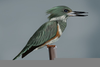 Belted Kingfisher Drawing Image