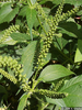 Giant Ragweed Flower Image