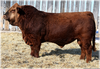 Red Charolais Cattle Image