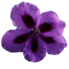 Flower Geranium Purple  Image