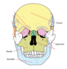 Level 1 Bones Of The Face Clip Art