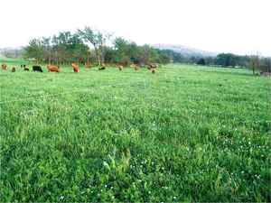 Cattle On Grass For Opb Website Image