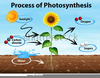 Free Clipart Photosynthesis Image