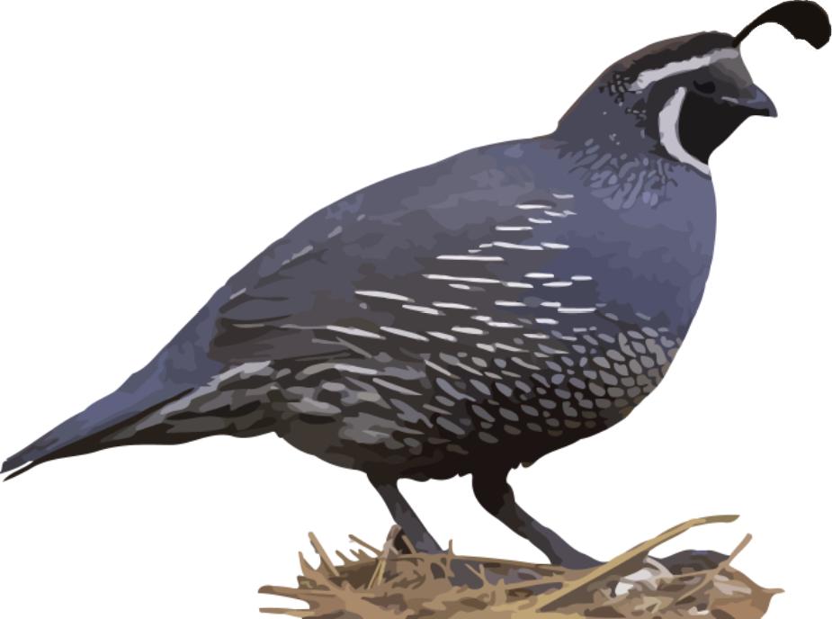 clipart of quail - photo #10