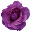 Flower Rose  Red- Purple Transparent Image