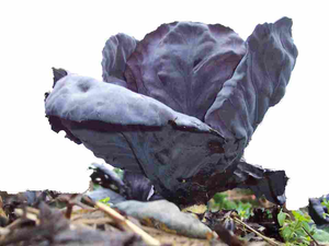 Red Cabbage Image