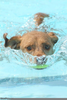 Cute Dogs Swimming Image