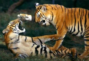 Tigers Playing At Pilibhit Tiger Reserve Area Image