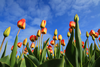 Colorful Tulips And Blue Sky Ro O Image