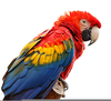 Scarlet Macaw Clipart Image