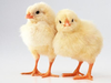 X Baby Chicks Image