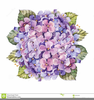 Pink Hydrangea Clipart Image