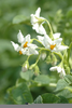 Potato Vine Flower Image