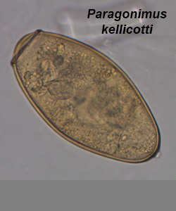 paragonimus kellicotti worm -#main