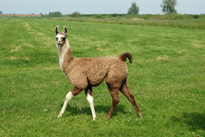 Llama In The Grassland Image