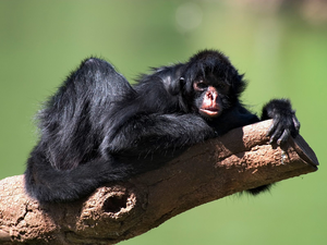 Hugging To A Tree Black Spider Monkey Image