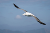 Giant Albatross Extinct Image