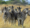 Zebras And Lions Image
