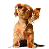 Purebredbreeders Com Dog Music Image