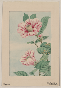 Branch With Leaves And Camellia Blossoms Image