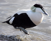 Common Eider Image