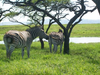 Zebra Grazing Near Waterhole Image