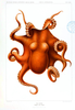 Animal Curiosity Octopus Die Cephalopod Orange Image