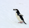 Chinstrappenguin Image