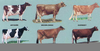 Dairy Cattle Breeds Image