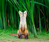 Cute Little Fox Image