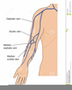 Veins Of The Arm Clipart Image