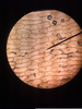 Onion Cell X Image